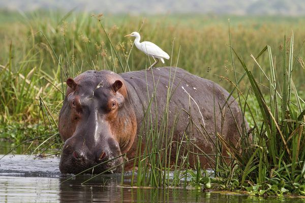 What Is a Hippo's Diet? | Animals - mom.me