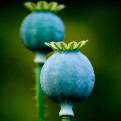 toobaa:    Blue Poppies