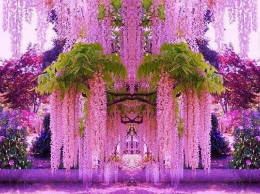Princess Will go crazy when she see's this its Nutts The most famous gardens of wisteria is in Japan, Ashikaga, the island of Honshu