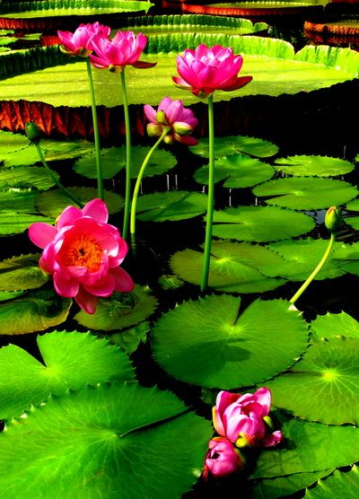 Water Lilies - Artistic Explorations