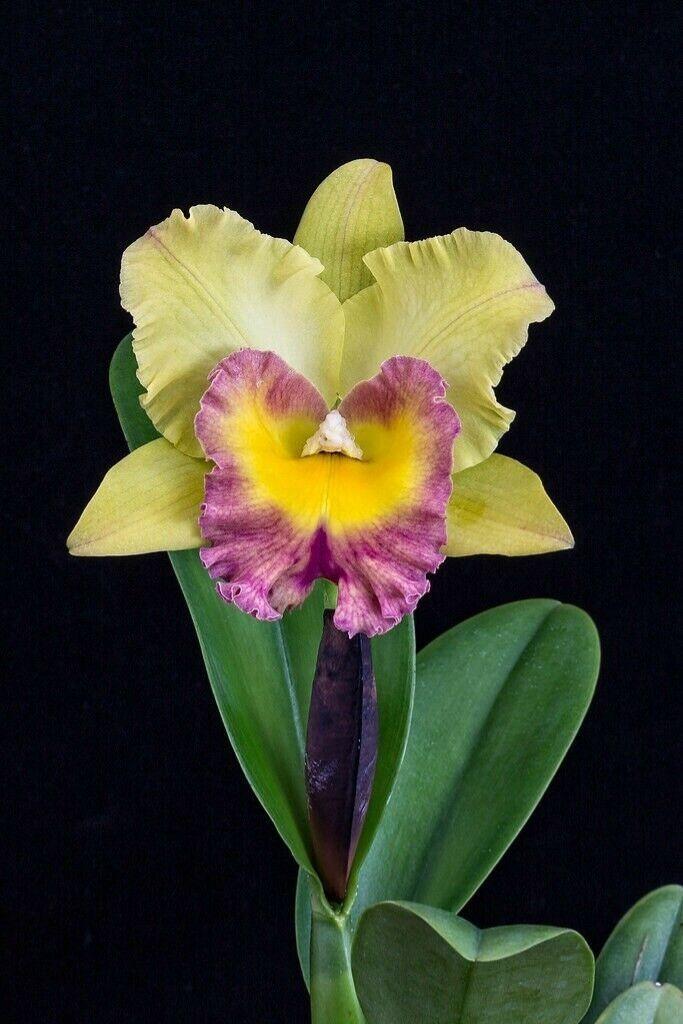 Blc Hawaiian Venture Carmela Cattleya Orchid Fragrant Cattleya Orchid Orchids Cattleya