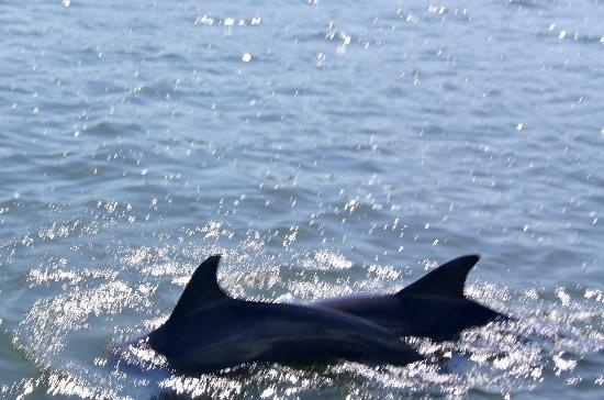 Johns Island, SC: Dolphins swimming next to Captain Jack´s boat