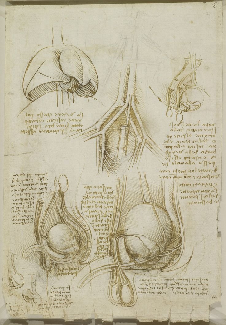 The male genito-urinary system Leonardo da Vinci (Vinci 1452-Amboise 1519) #TuscanyAgriturismoGiratola
