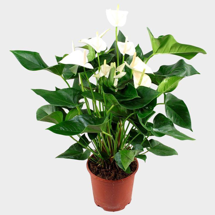 Anthurium andr. White Winner Ø21cm