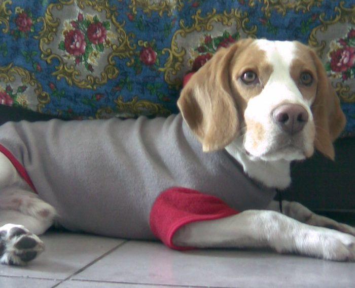 Fotos de Odie, un beagle de Córdoba (Argentina). Vanesa es de Córdoba, y nos envía una pequeña colección de fotos de su beagle bicolor Odie, el cual fue un regalo que le hizo su novio Enzo.  #FotosdePerrosbeagle