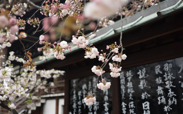 Download wallpapers spring flowering, cherry blossom, spring, Japan, pink flowers