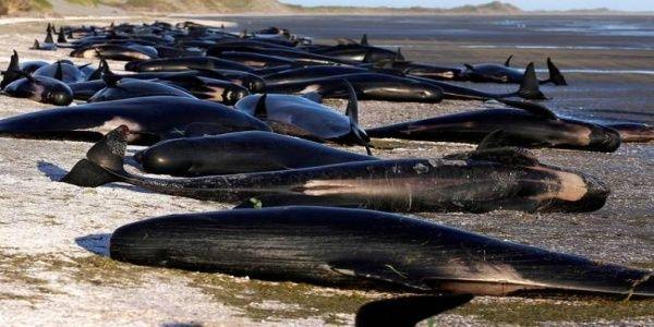 Μυστήριο με 400 φάλαινες που βρέθηκαν να ξεψυχούν στη Νέα Ζηλανδία - Σπαρακτικό θέαμα