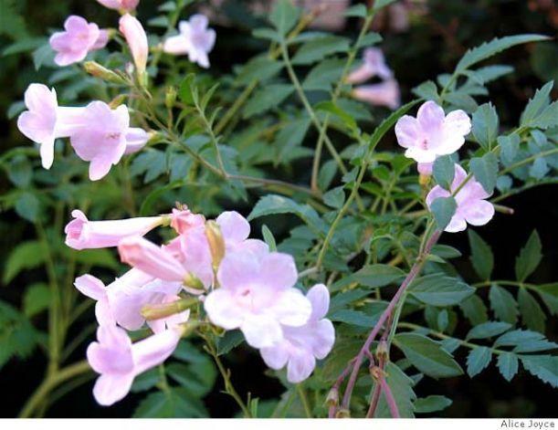 Common name: Himalayan or summer gloxinia. Genus/species: Incarvillea arguta (synonym Amphicome arguta