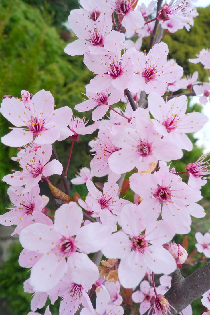 Prunus cerasifera Śliwa wiśniowa 'Pissardii' Gargul Gaj Gartex