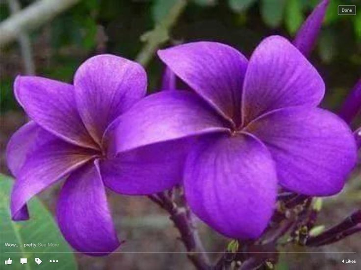MY FAVORITE COLOR Plumeria FlowersHawaiian FlowersTropical FlowersPurple
