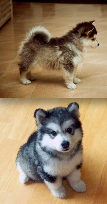 "Move over KleeKai...the Pomsky is the cutest ""mini husky"" around! I think Balto needs this little playmate :-)"