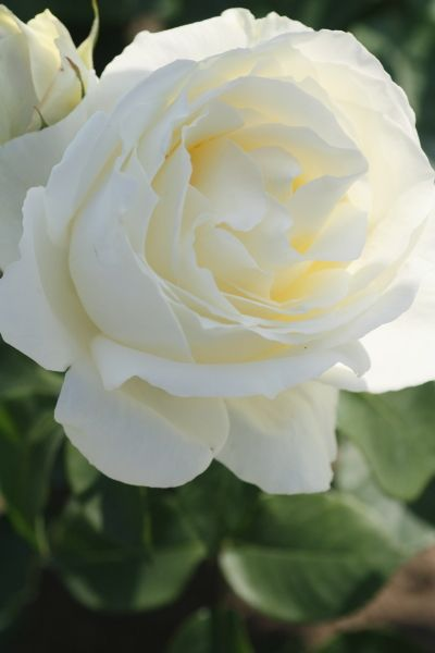 another view of a pretty white - 【Rose】正雪 (Rosa'Masayuki') [Class]Hybrid Tea Raised by Keisei Rose, Japan.1992(reg.)