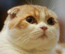 Waffles the cat. Reason why i want a scottish fold cat #2.