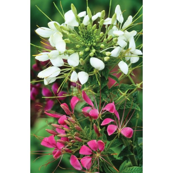 I have just purchased Cleome spinosa 'Colour Mix' from Sarah Raven - http://www.sarahraven.com/flowers/plants/cut_flower_seedlings/cleome_spinosa_colour_mix.htm