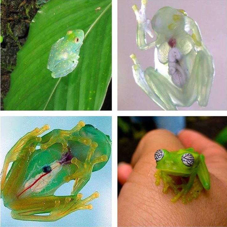 Glass frogs, a group of South and Central American frogs with translucent skin.