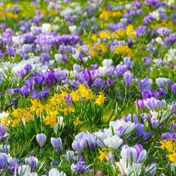 """Krokusse: eine Liebeserklärung an den Frühling - Die Zwiebelmischung """"Hocus Crocus"""" enthält Krokusse in Weiß, kräftigem und zartem Lila. Dazu passen gelbe Blüten, entweder sehr früh blühende Narzissen oder gelbe Krokusse. - Foto: www.fluwel.de - Weitere Infos: www.zwiebelhaft.de"""
