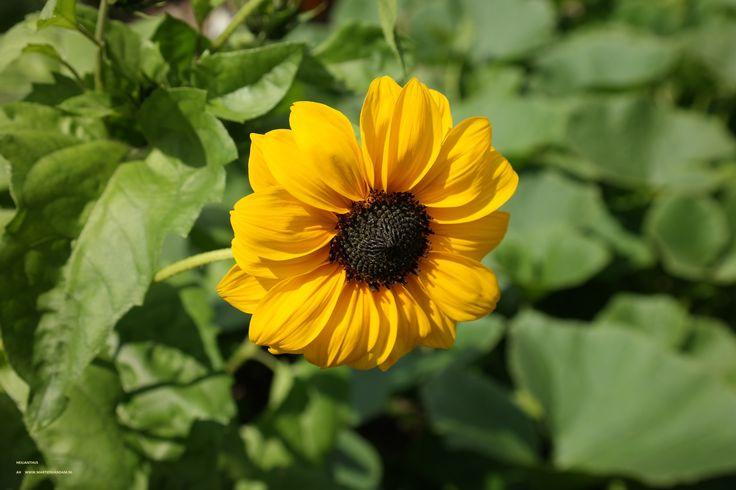 Helianthus – zonnebloem, van de statige 2 m. hoge enkele zonnebloem tot vertakte vormen met veel bloemen, allerlei soorten 1 jarige zonnebloemen zijn gemakkelijk te kweken.