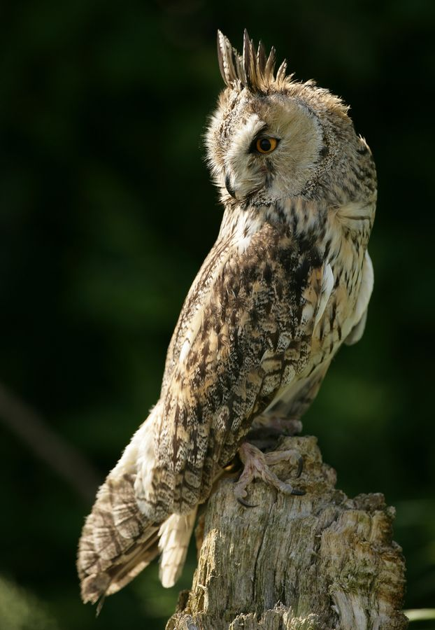 Long-Eared Owl by phil homer  LSINWP                                                                                                                                                                                 Mais
