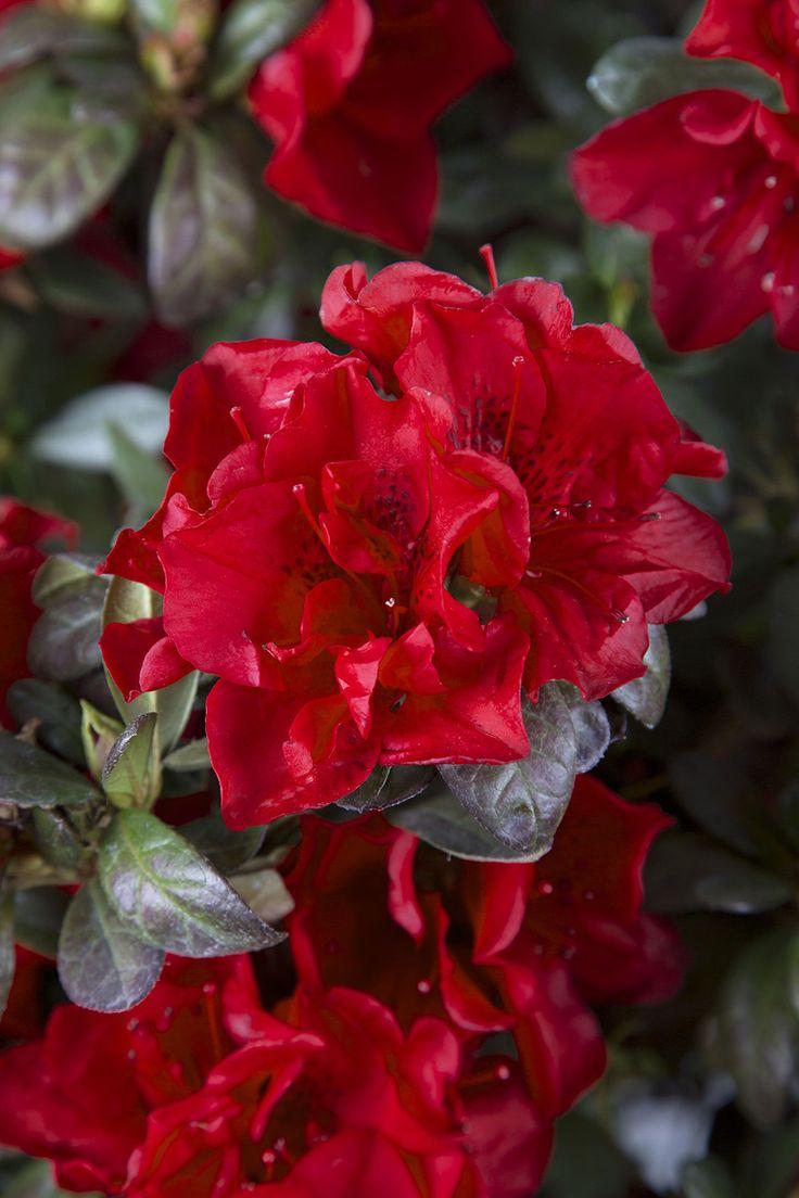 The 32 best Different Azalea Varieties & Colors images on Pinterest