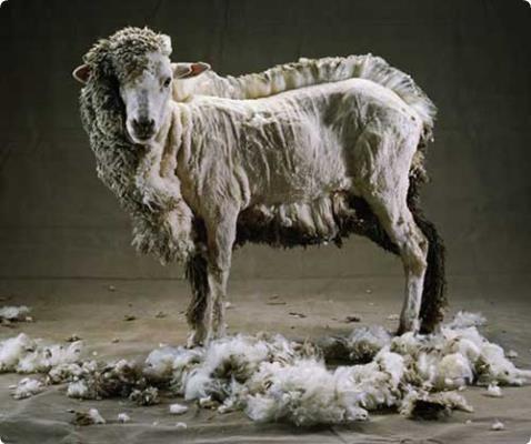 Hogy mi a baj a gyapjúval? Hogyan függ össze a gyapjúipar és a bárányhús? A cikkből megtudhatod. Cikk linkje: http://bit.ly/2bGjc12
