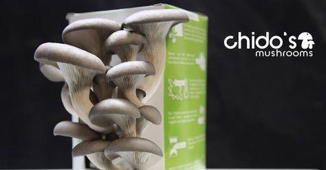 Chidos Pilzzucht das Original zeigt dir wie du Pilze selber züchten kannst und erkärt den Vorteil von Kaffeesatz. Pilze züchten lernen.