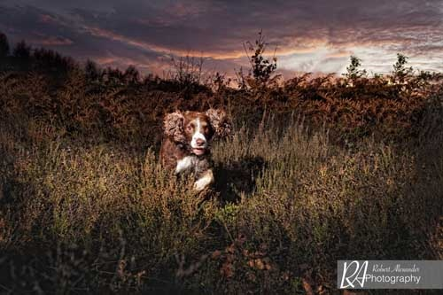 This image of an English Springer Spaniel made a beautiful canvas that has pride of place in the owners living room!  Robert Alexander Photography - Yorkshire Dog Portrait Photographer -  http://www.facebook.com/robertalexanderphotography