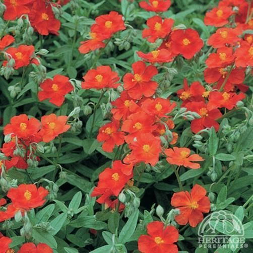 Helianthemum 'Fire Dragon' - lovely evergreen plant for low ground cover.  Flowers mid-summer.