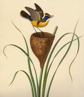Las Aves que Viven en Chile: ENCUENTRO MAGICO, Claudio Gay y un Sietecolores (Tachuris rubrigastra), Chile siglo XIX