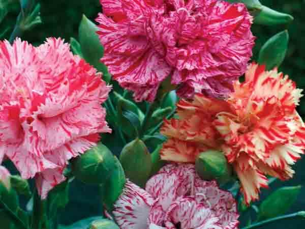 A wide mix of carnation colors—cardinal red, pinks, violets, crimson, salmon, whites and yellows