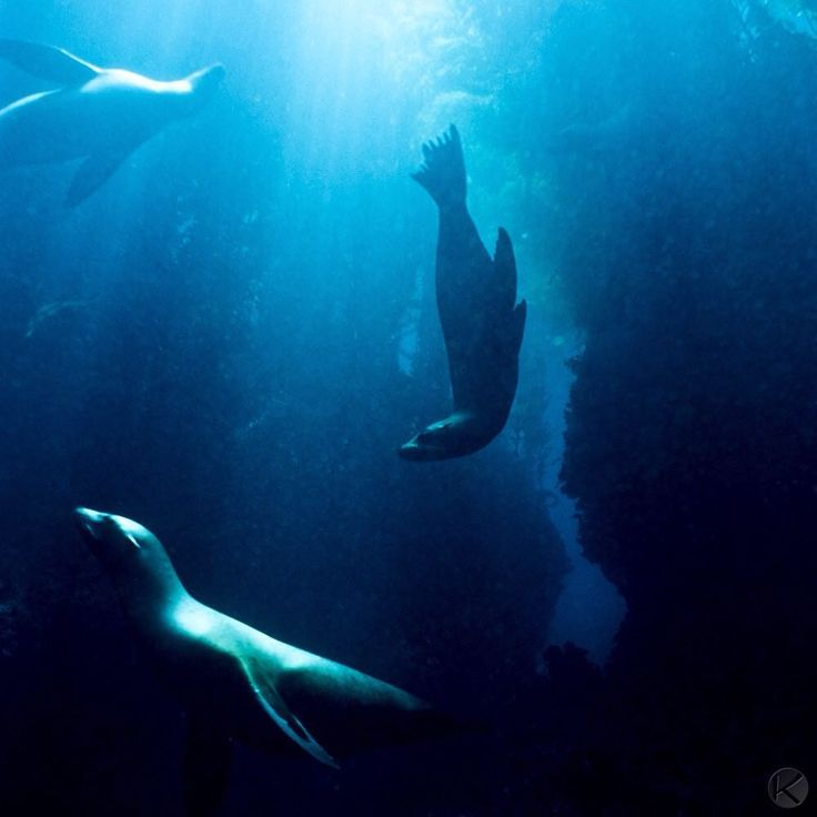 Photo by @jonathankingston California sea lions perform a underwater ballet in the spotlight of the sun - while warily keeping an eye out for their chief predator - the great white shark.  Nestled in the Pacific Ocean, 38 miles off the southern California coast, Santa Barbara Island is part of the Channel Islands National park and is home to a large rookery of sea lions. @natgeocreative