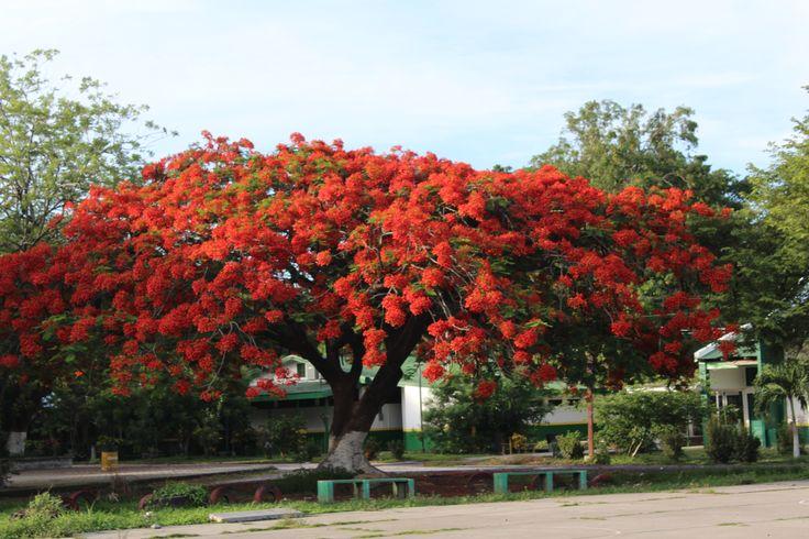 Árbol de malinche. En la provincia de Guanacaste, Costa ...