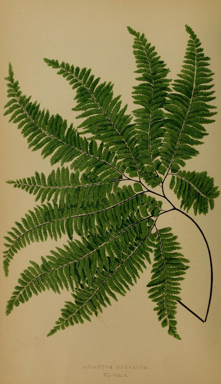 Ferns: British and exotic v.3 London,Groombridge and Sons,1856-60. biodiversitylibrary.org/item/108040