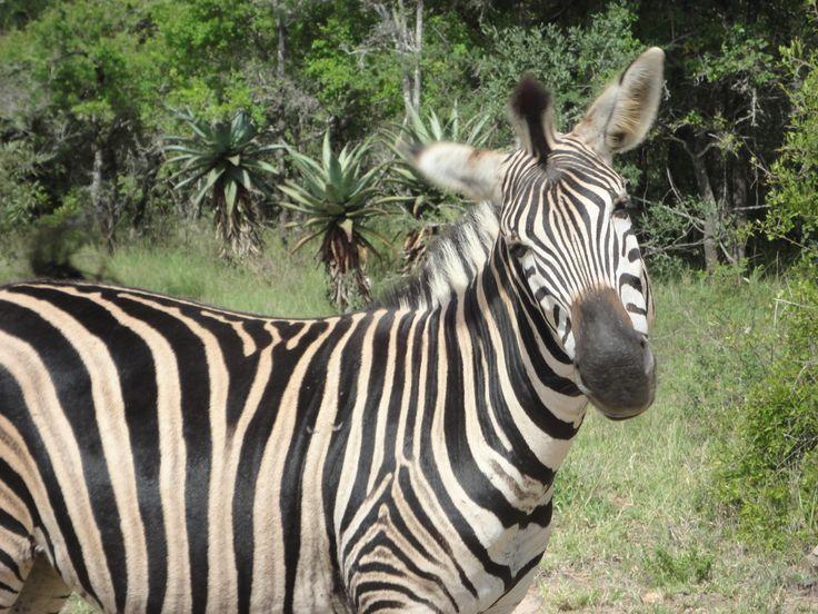 mr ed was a zebra