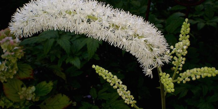 Learn about the many uses of #organic black cohosh. Click here! http://www.diynatural.com/cimicifuga-racemosa-black-cohosh-menopause/