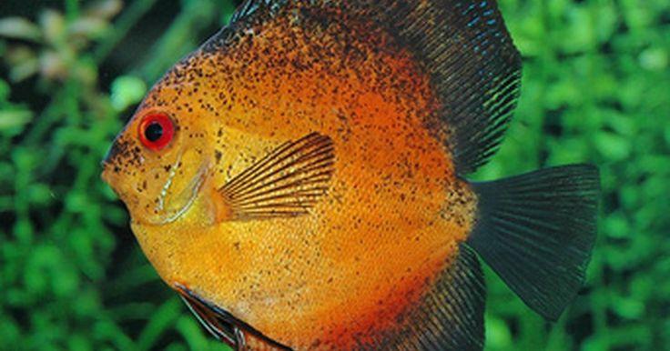 Como tratar uma nuvem bacteriana no olho de um acará-disco. O acará-disco é um tipo de peixe nativo do rio Amazonas. Como todos os tipos de peixes, eles são suscetíveis a infecções bacterianas, incluindo olho nublado. O olho nublado provoca embaçamento e inchaço no olho, de acordo com a Reef Stewardship Foundation. Esta infecção pode ser tratada por meio de uma solução especial, que mata as bactérias.