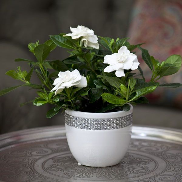 10 Plants That Attract Positive Energy And Instantly Make You Happier Gardenia Plant Plants Healthy Plants