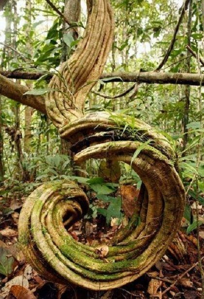 Druids Trees: Amazing Spiral Tree.