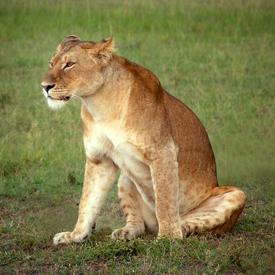 Lioness photo free. 1000+ awesome free vector images, psd templates, icons…