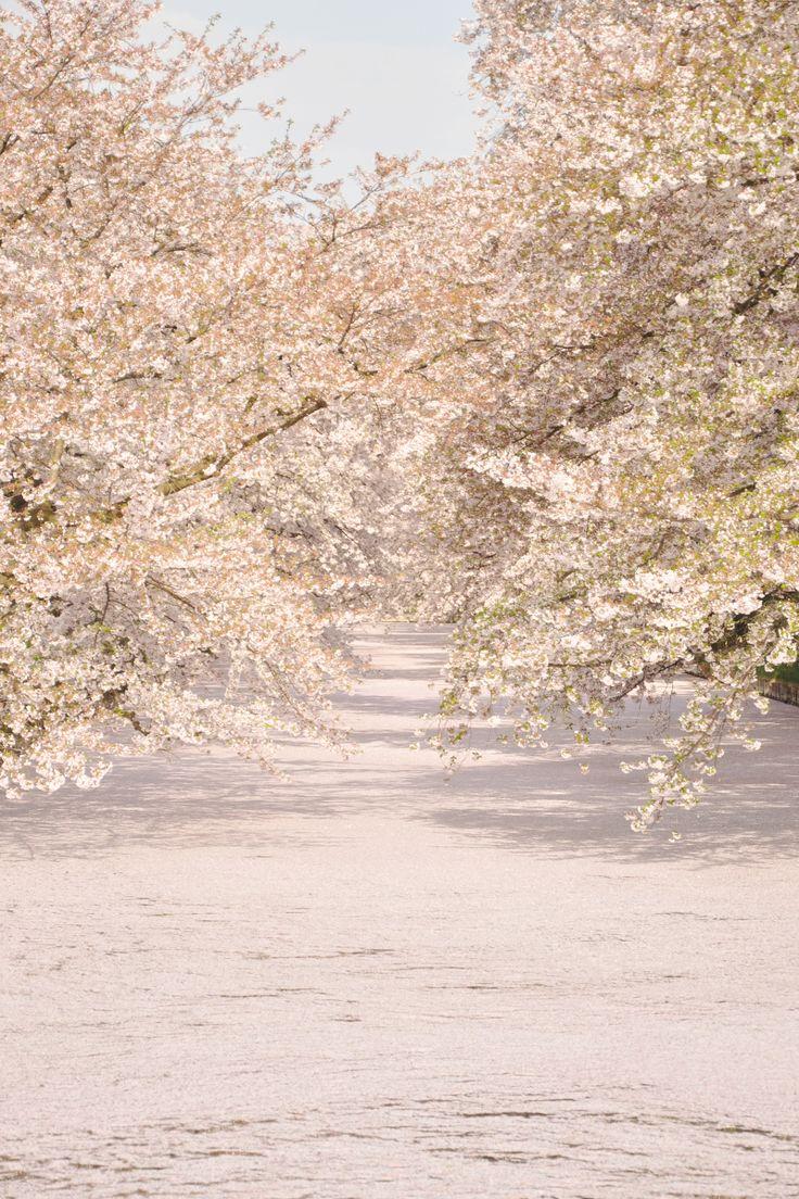 hirosakipark_castle_sakura petals carpet
