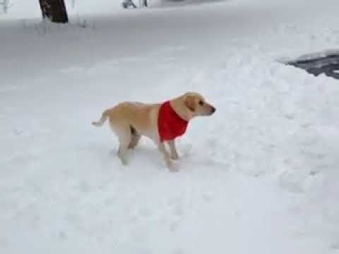 Funny Labradors Videos COMPILATION 2017
