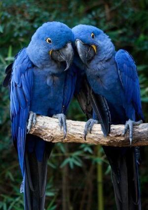 Two beautiful Hyacinth Macaws! by angelia