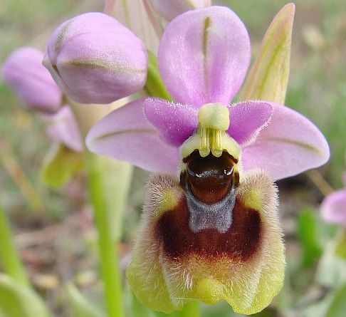 Ophrys tenthredinifera  Wild orchids