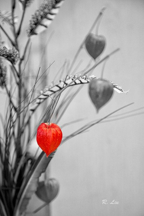 """""""Red lantern"""" fruit, black and white with splash of color. Photo taken and made by Audrey Liu."""