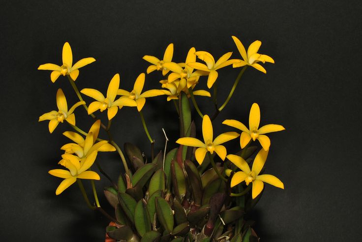 Cattleya aclandiae 'Campo Belo' on a different kind of pot. Orchidaceae: Laeliinae. By Claudio Camara Cunha.