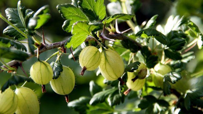 Dreviny drobného ovocia môžete rozmnožiť viacerými spôsobmi. Aktuálne sa realizuje takzvané množenie potápaním.