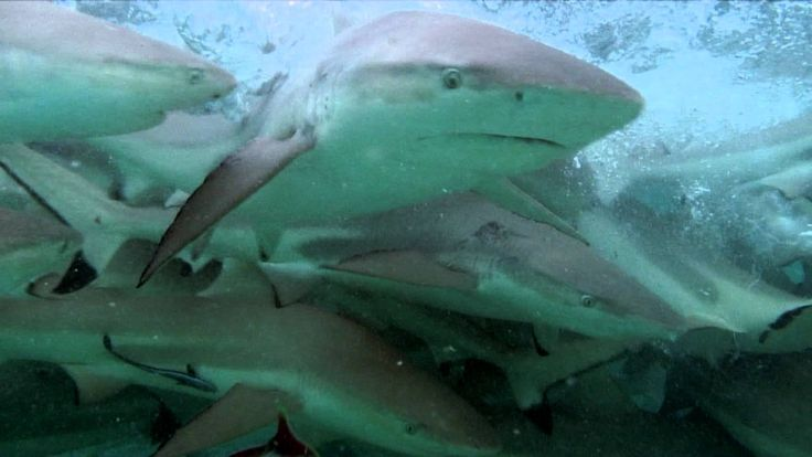 Video about sharks in Rangiroa - For more informations about the atoll of Rangiroa and its activities : http://www.discover-rangiroa.com - Blue Lagoon