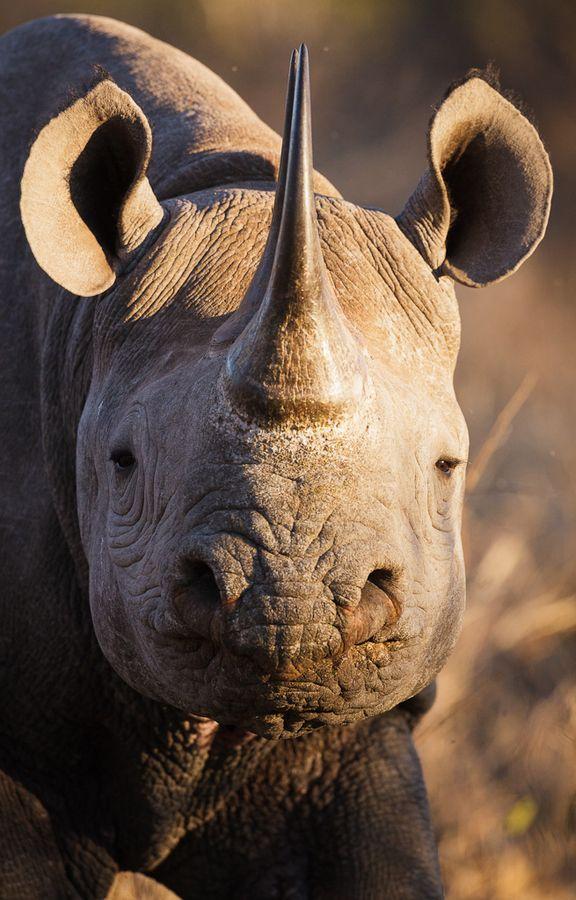 ♂ Wild life photography animal Black Rhino i Kruger
