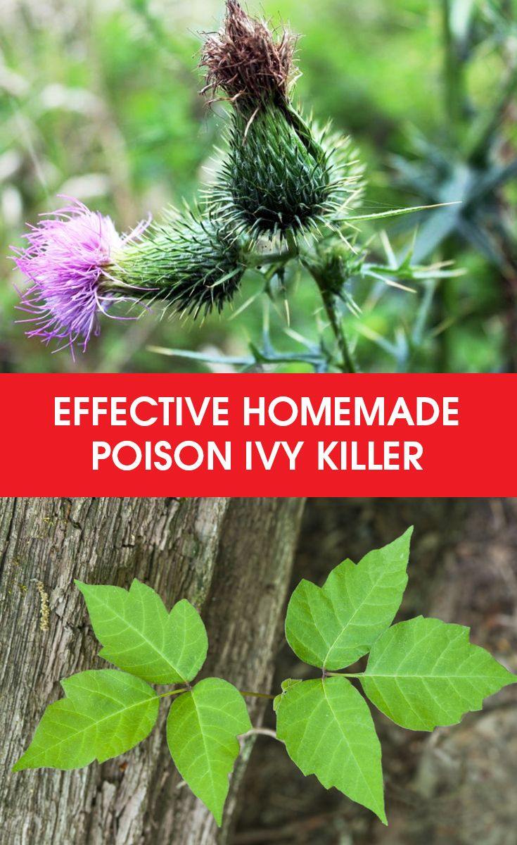 Are poison ivy plants taking over your land? The best option is an all-natural, homemade poison ivy killer that can effectively eradicate these annoying plants. The key to complete eradication of these nuisance of plants is through diligent application of this homemade poison ivy killer. Try this recipe and check out other natural and soil-friendly ways of eradicating these plants.