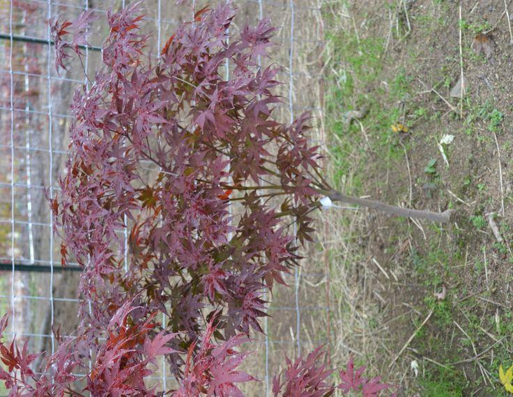 Bloodgood Japanese Red Maple Tree.