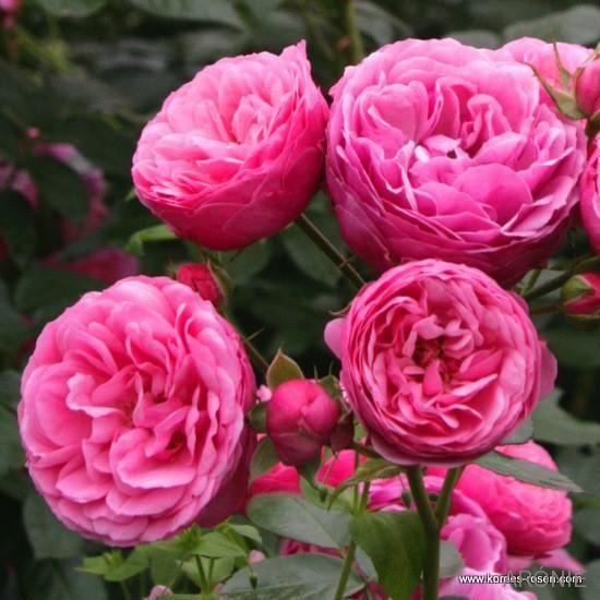 Kordes růže Pomponella